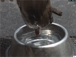 Dog Drinking Water at 3,000fps